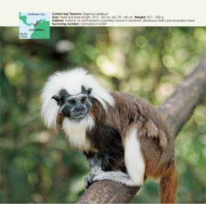 The Cotton-top Tamarin